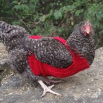 Cabled Chicken Sweater